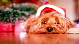 Yorkshire Terrier dog breed;