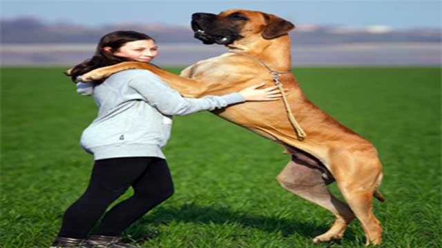 Great Danes as Guard Dogs