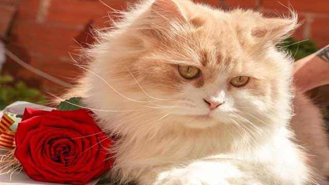 Persian Cat personality, facts