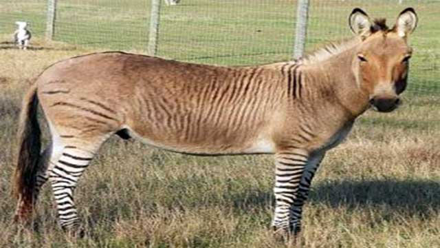 Zonkey animal cross breeds