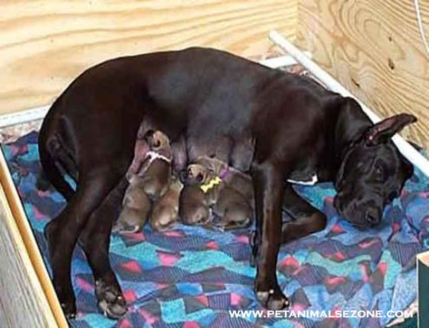 dog pregnancy - Prenatal care