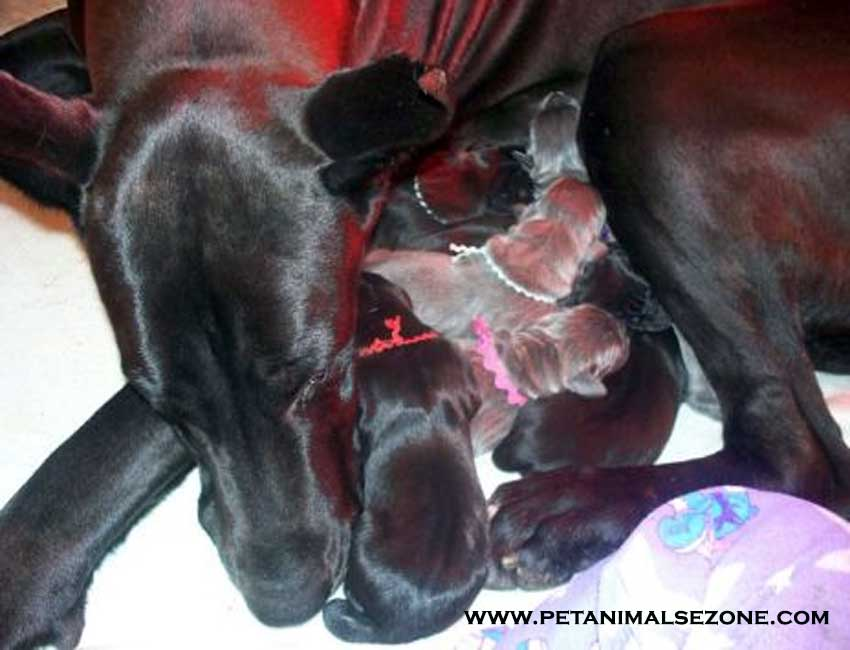 dog pregnancy postpartum care for newborn puppies
