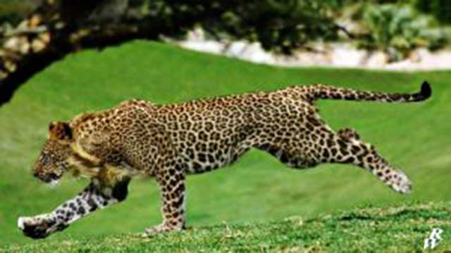 leopon animal cross breeds